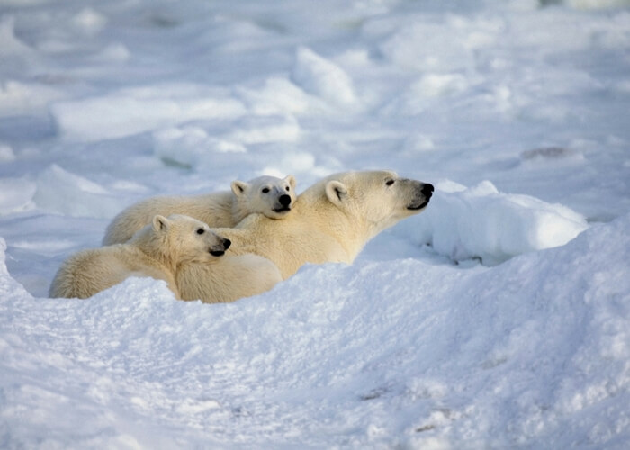 animalislands-polarbears.jpg