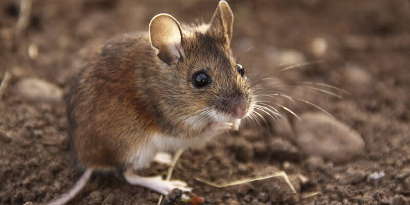 animalsislands-housemice.jpg