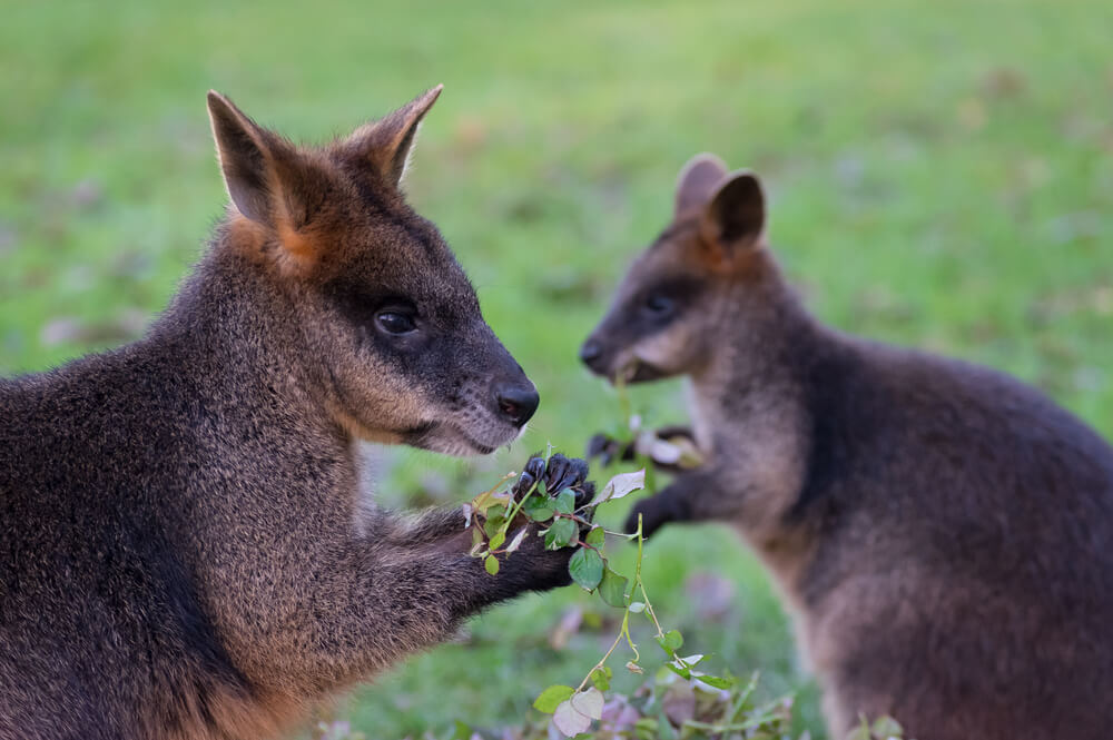 animalsislands-wallabies.jpg