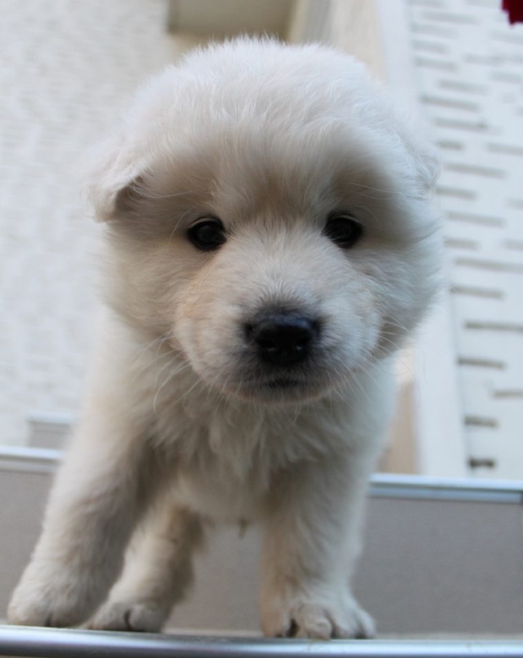 This Samoyed Golden Retriever