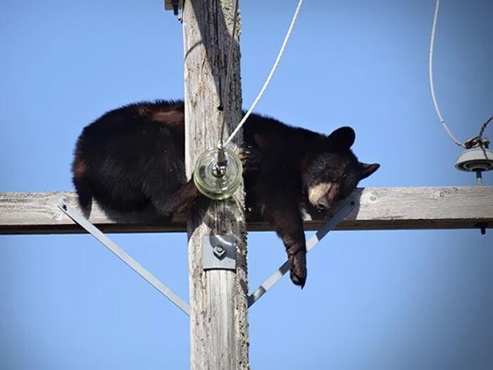 bear-sleeping-telephone-pole.jpg