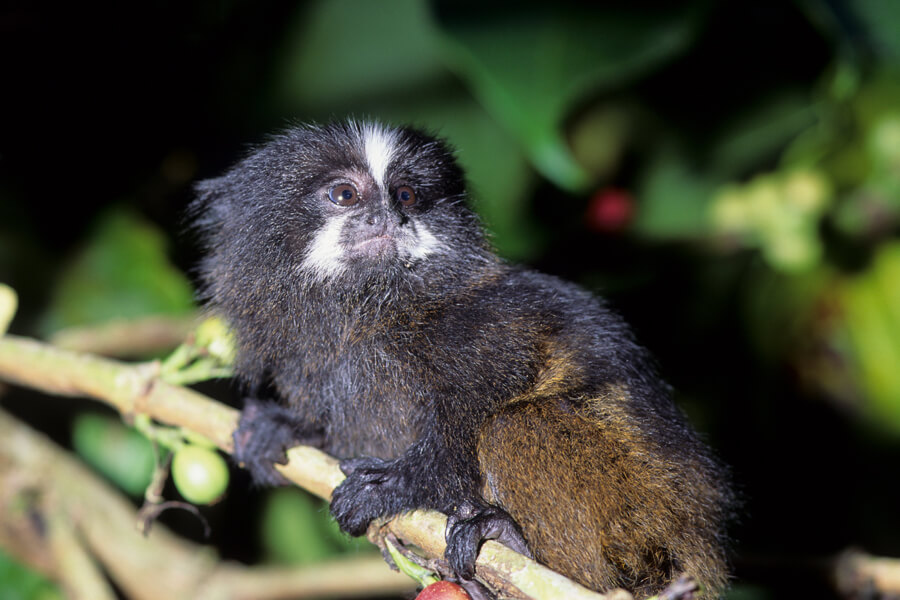 black mantled tamarin.jpg