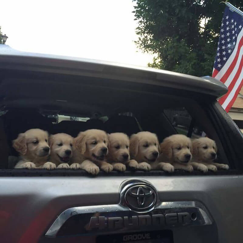 carful-of-goldens.jpg