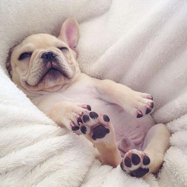 cute-bulldog-smiling-sleeping-dog-narcoleptic-frenchiebutt-millo-11