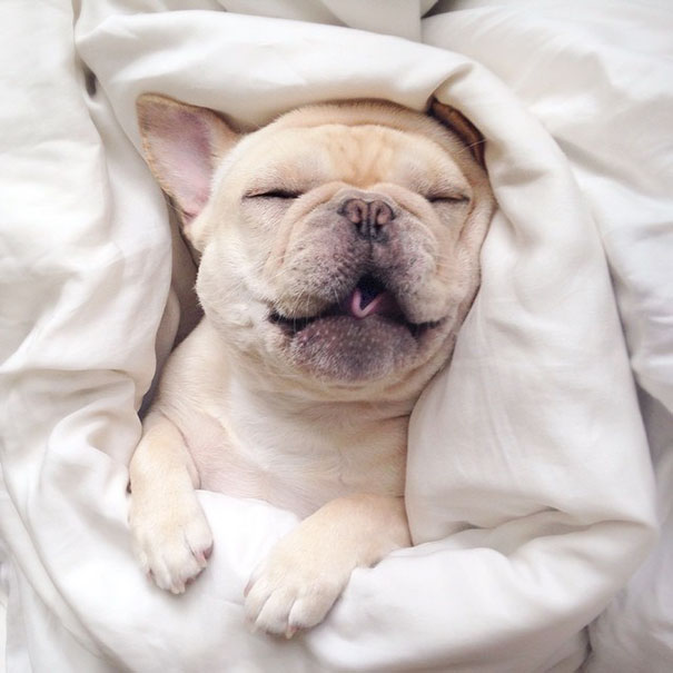 cute-bulldog-smiling-sleeping-dog-narcoleptic-frenchiebutt-millo-23