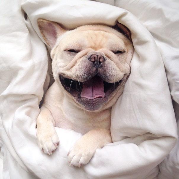 cute-bulldog-smiling-sleeping-dog-narcoleptic-frenchiebutt-millo-28
