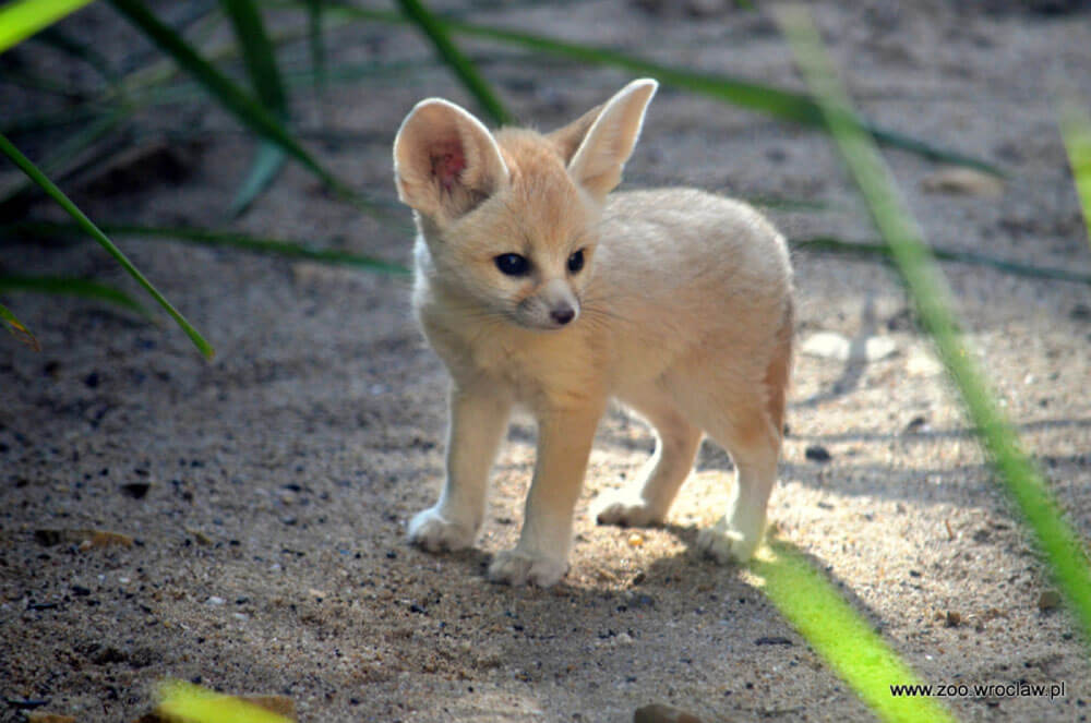 cutefennecfoxes.jpg