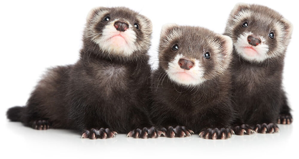 cuteferrets.jpg