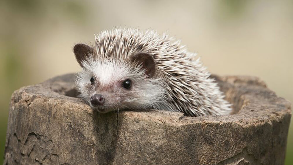 cutehedgehogds.jpg