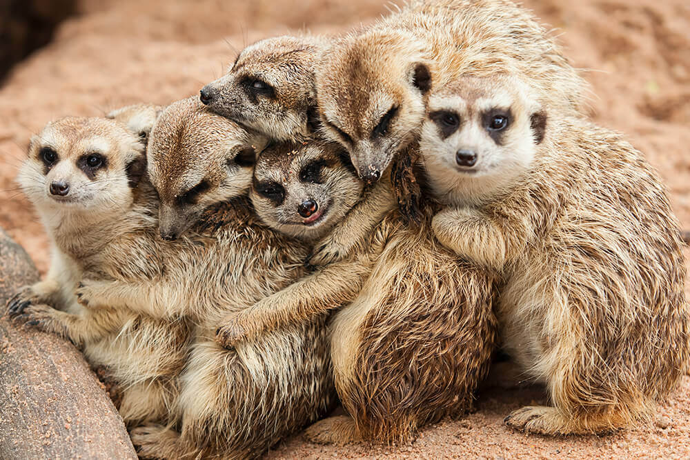 cutemeerkats.jpg
