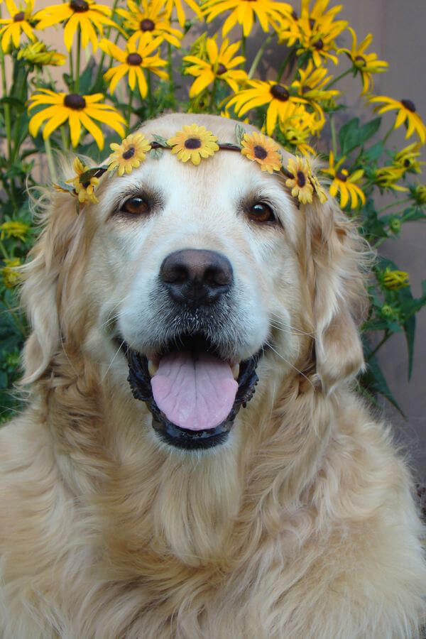 daisy-golden-retriever.jpg