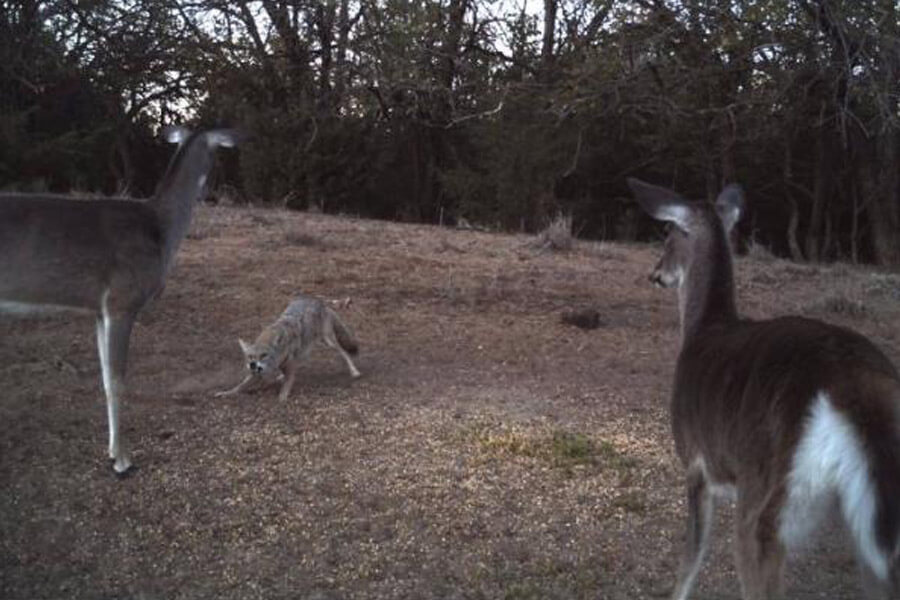 deer fight off coyote.jpg