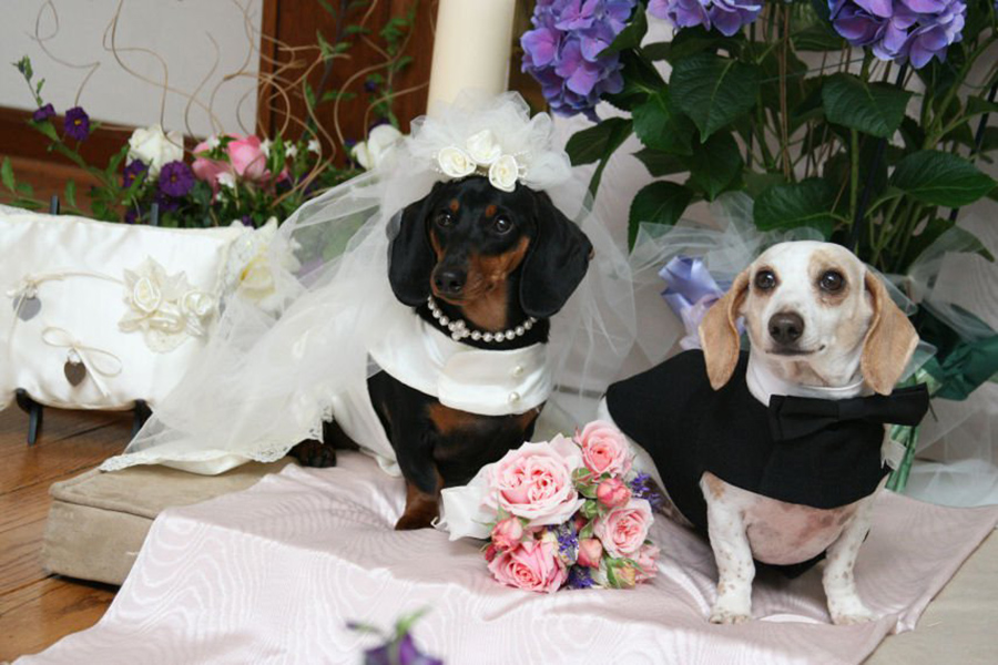 Dachshunds Say 'I Do'