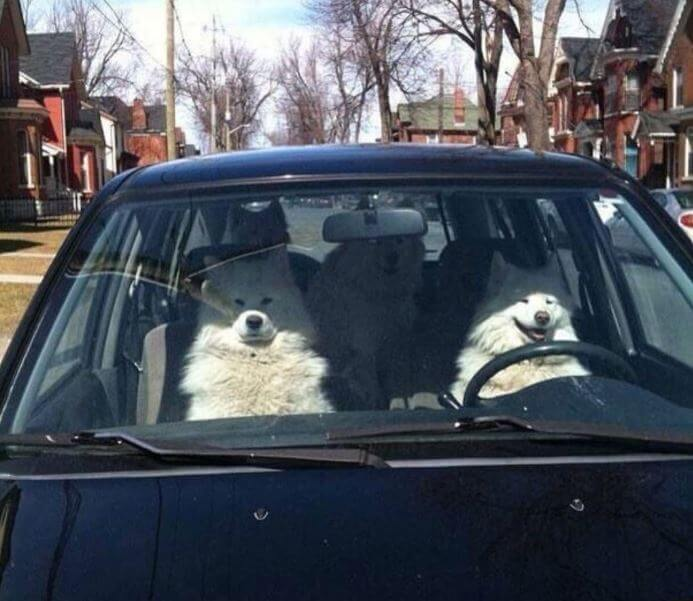 dogs are driving.JPG