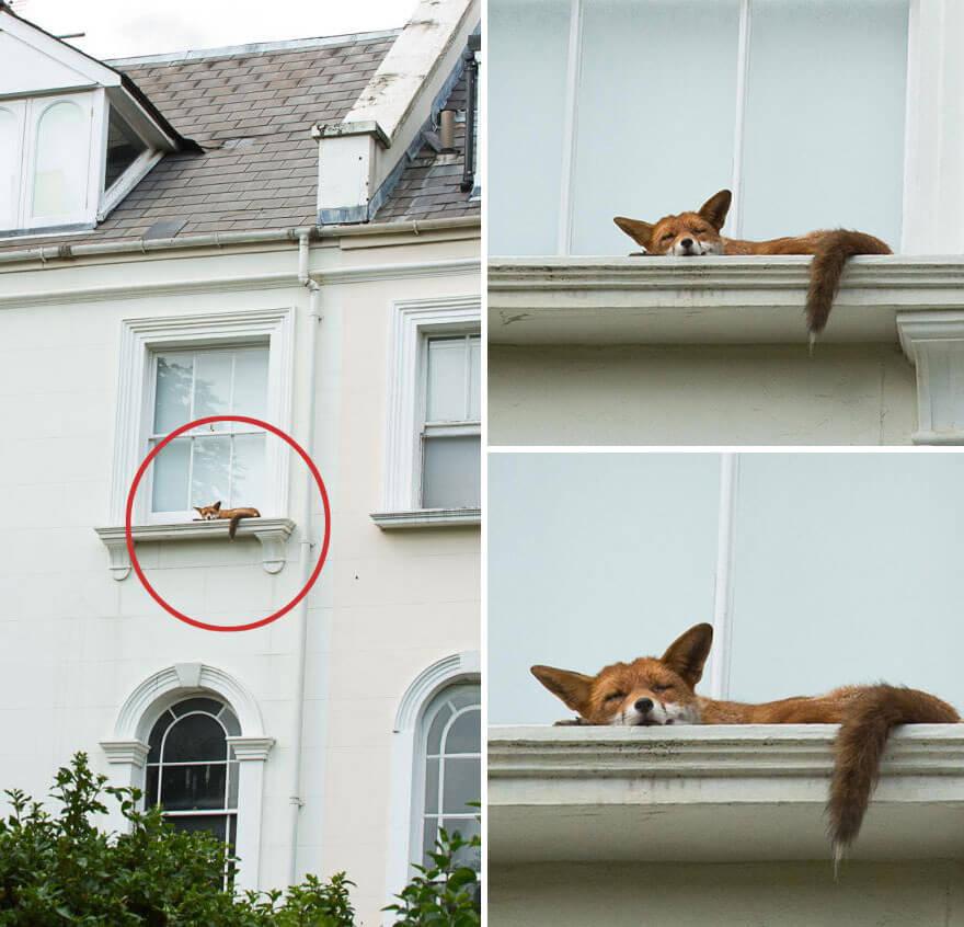 fox-windowsill.jpg