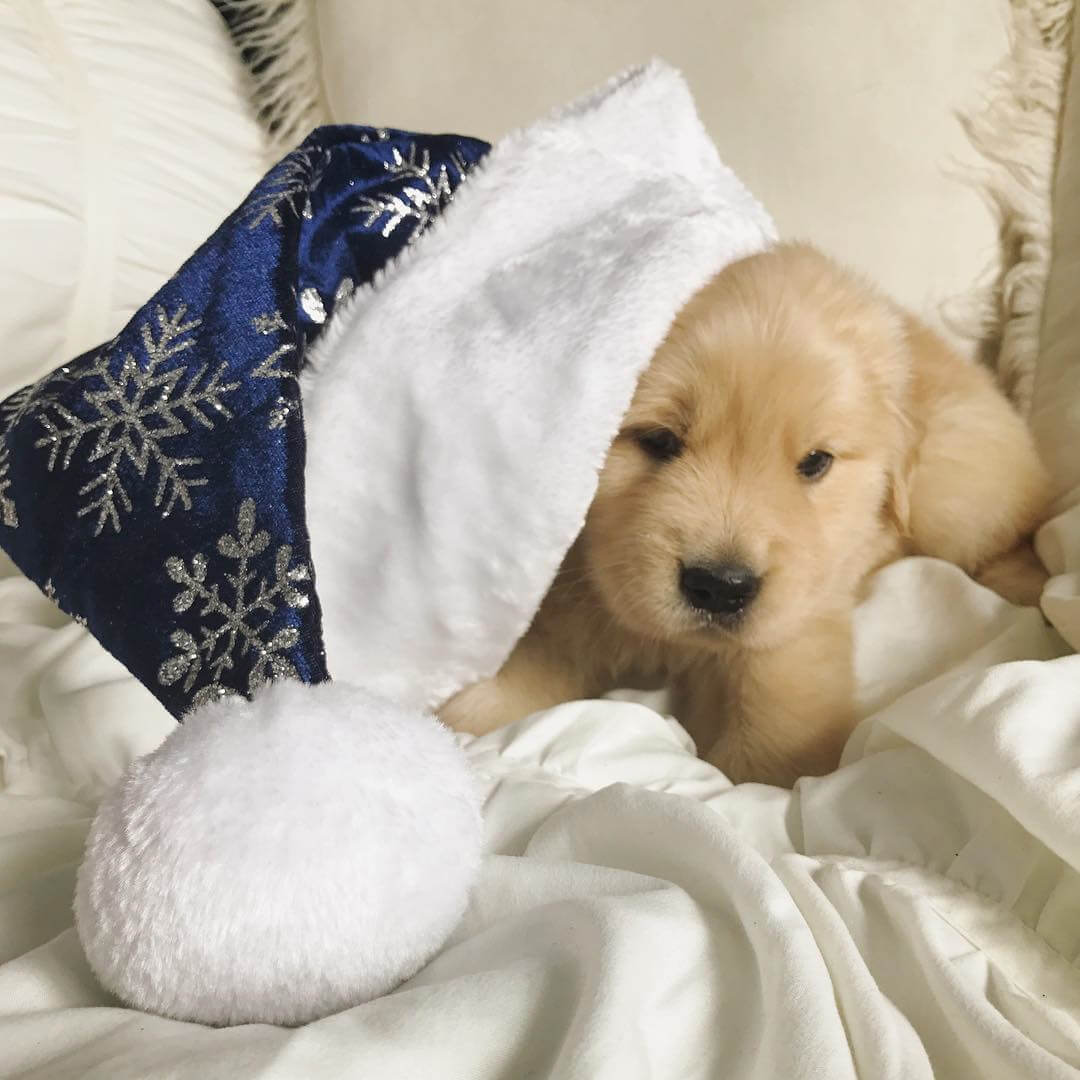 golden-puppy-in-hat.jpg