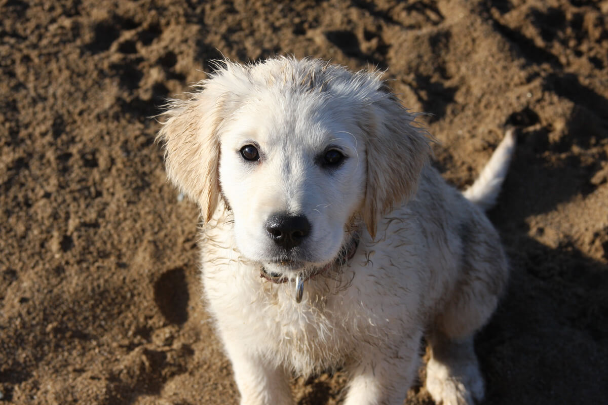 golden-retriever-in-sand.jpg