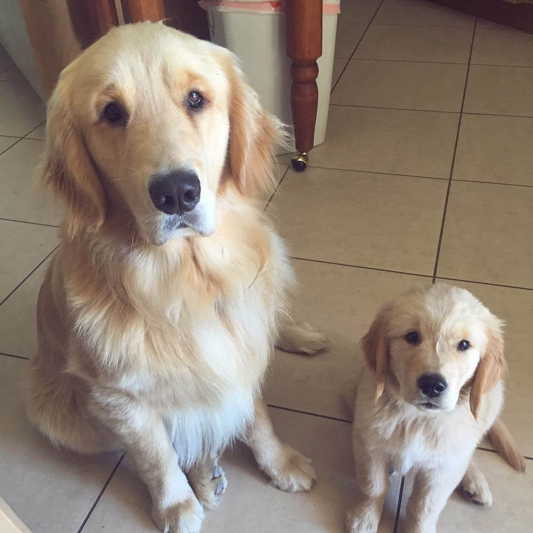 golden-with-mini-me.jpg