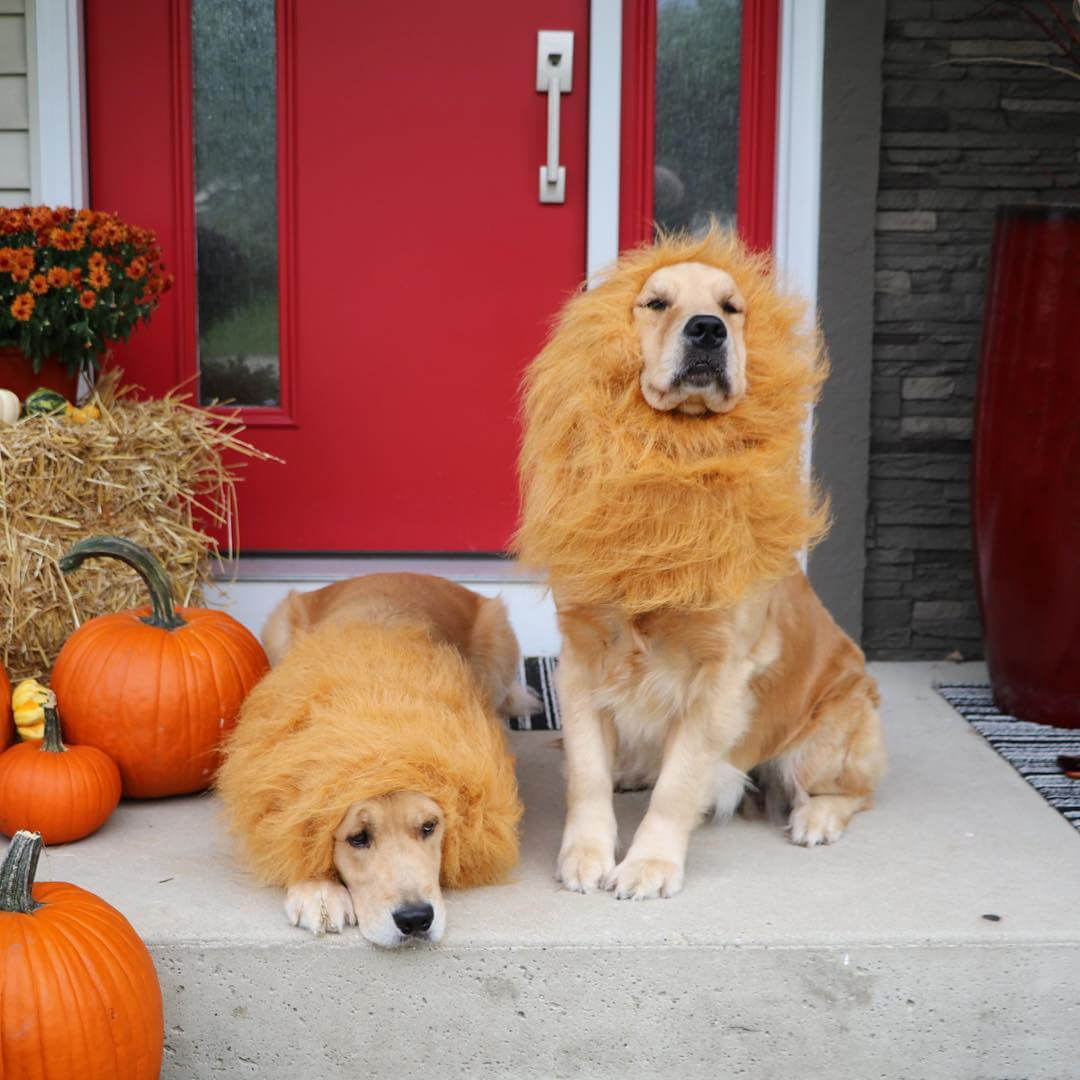 goldens-dressed-as-lions.jpg