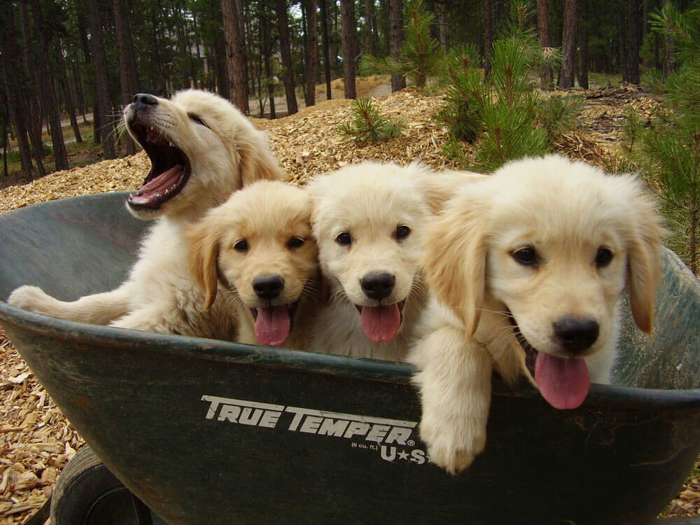 goldens-in-wheelbarrow.jpg
