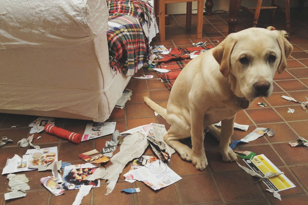 Guilty Dog — Room Disaster