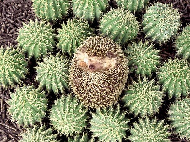 hedgehog-sleeping-cactus.jpg