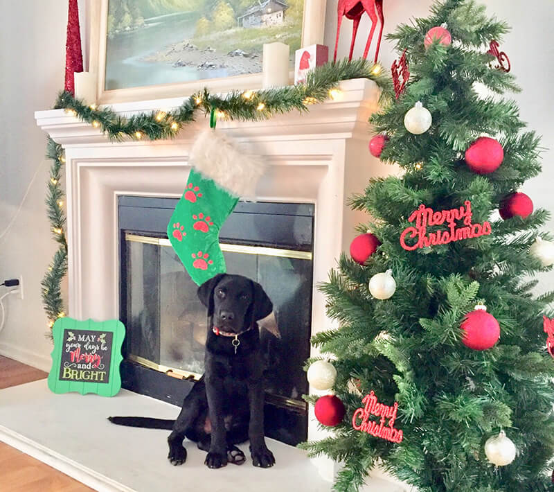 lab-puppy-first-christmas.jpg