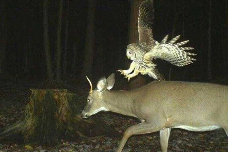 owl attacks deer.jpg
