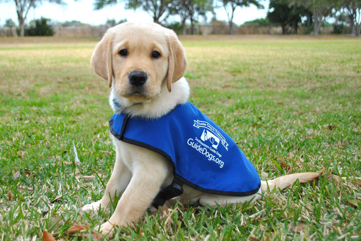 puppy-guide-dog-in-training.jpg