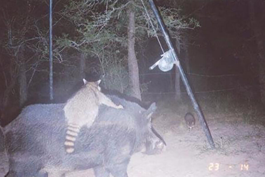 raccoon and swine.jpg