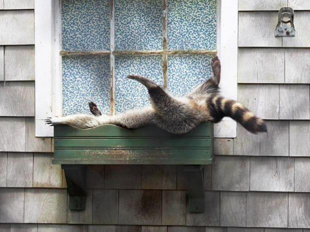 raccoon-asleep.jpg