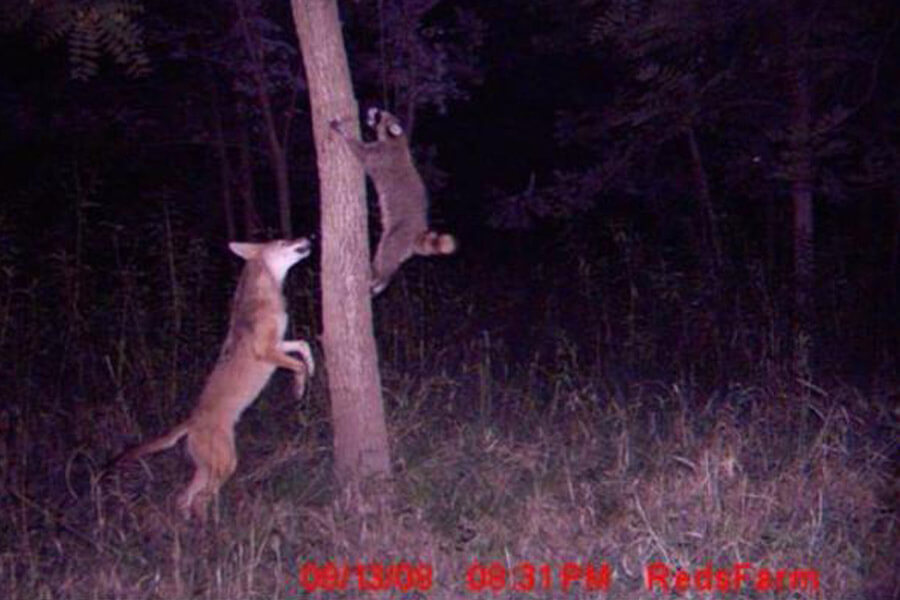 raccoon escapes fox.jpg