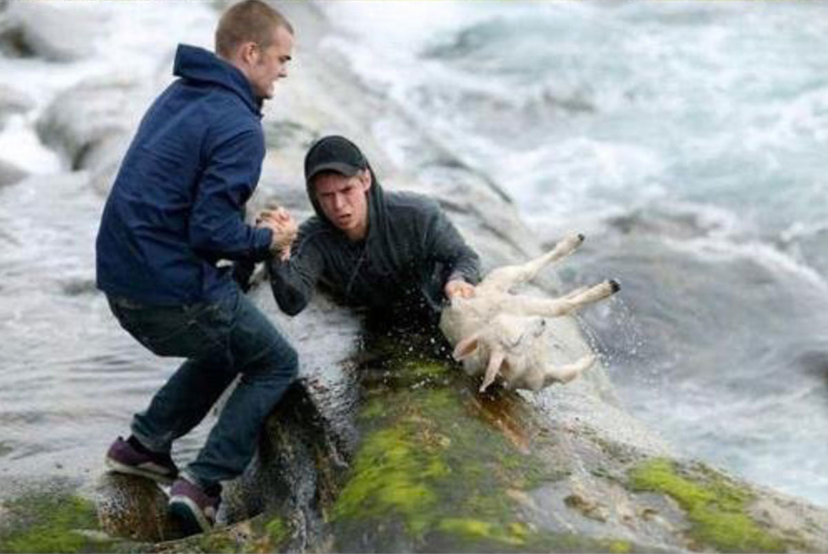 Rescuing A Sheep With No Concern For Their Own Lives
