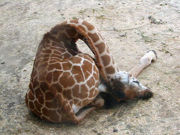 Guess How Much A Giraffe Sleeps At Night