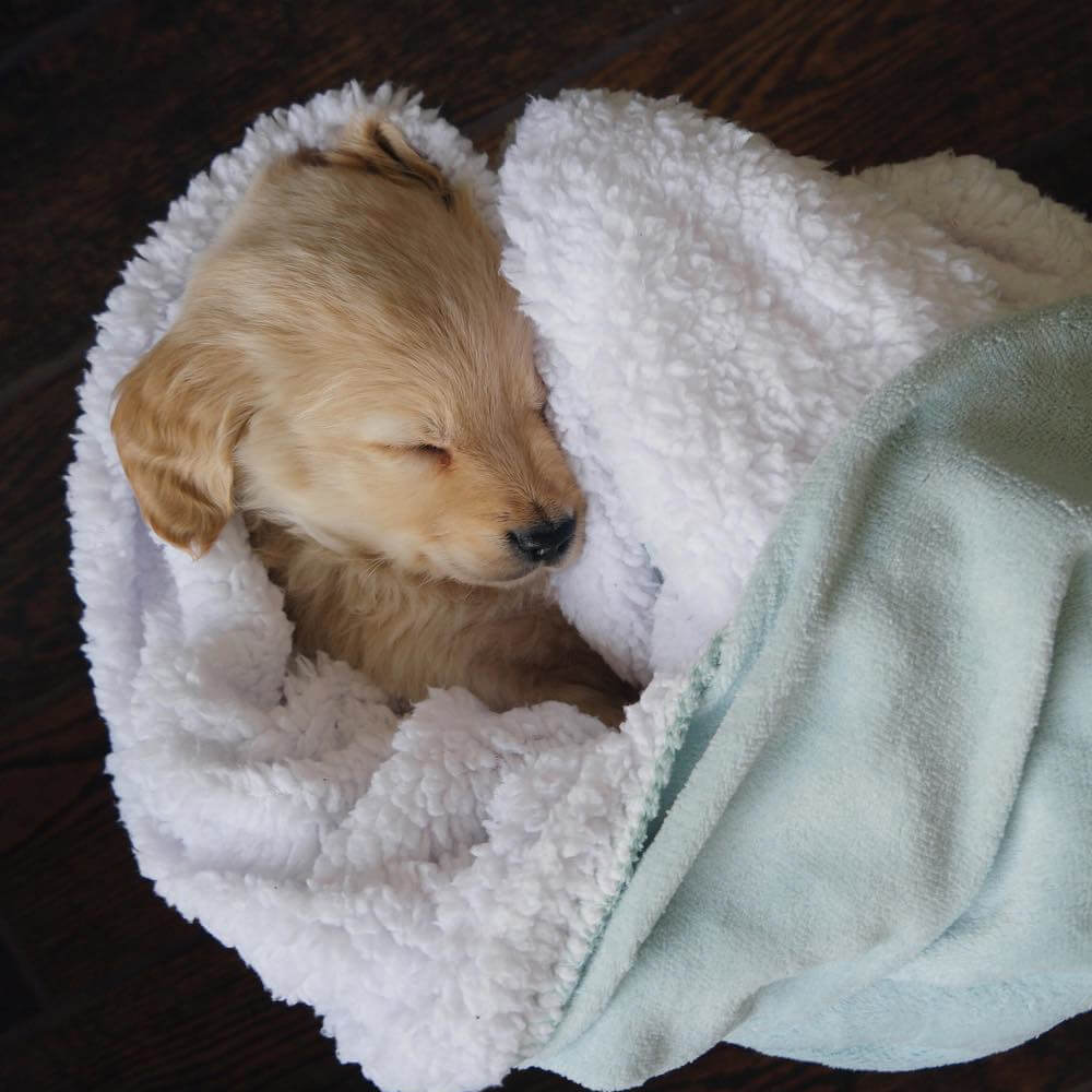 tiny-golden-sleeping.jpg