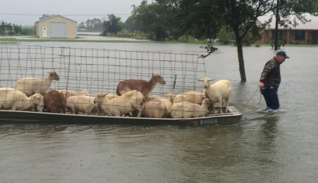 Man Creates Boat to Transport Sheep