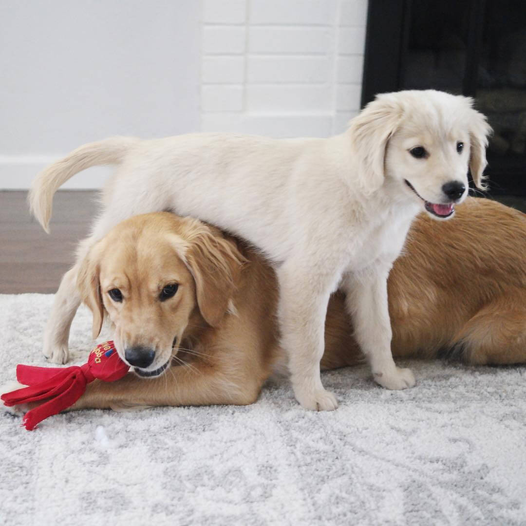 two-golden-puppies.jpg